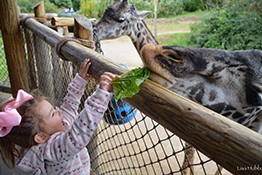 child feeds giraffe - click to continue to gift membership page