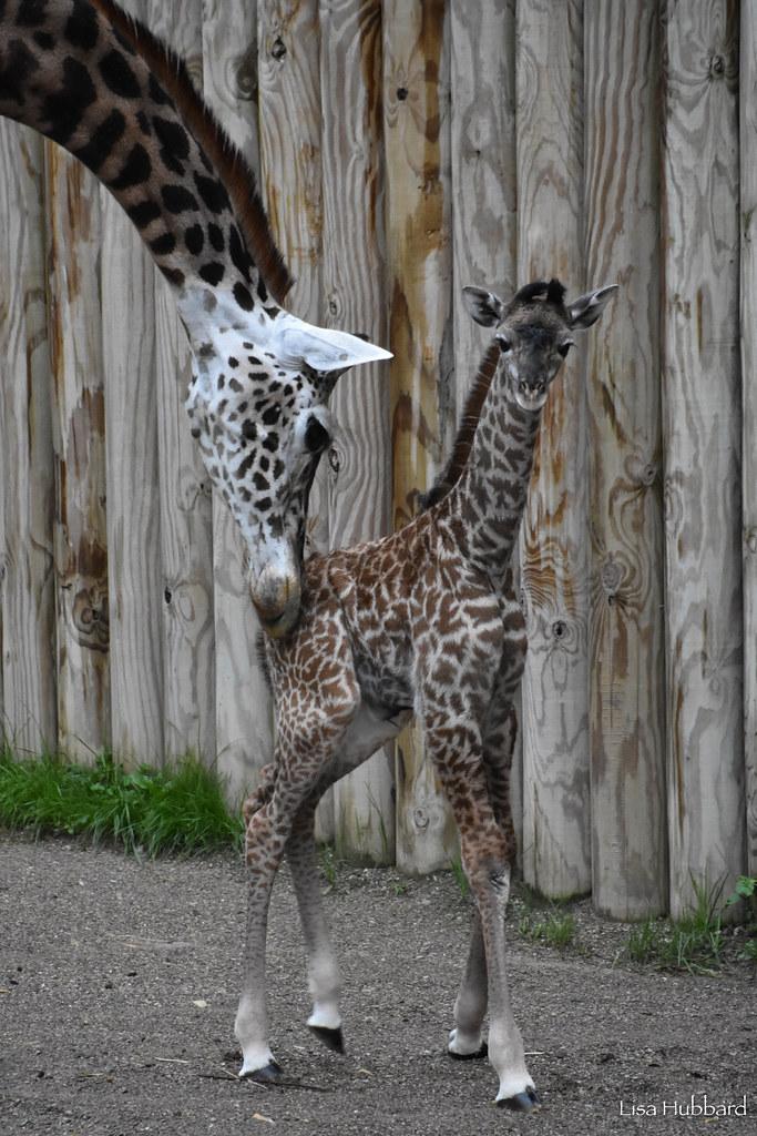 Oh Boy Cincinnati Zoo S Baby Giraffe Named Fennessy