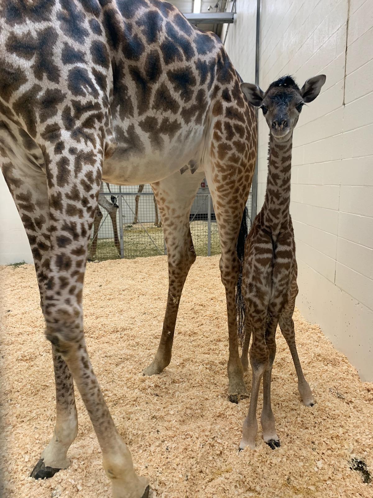 Cincinnati Zoo S Giraffe Super Parents Welcome A New Baby