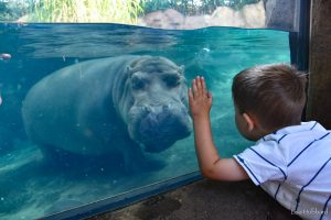 Picture of boy looking at a hippo in it's habitat