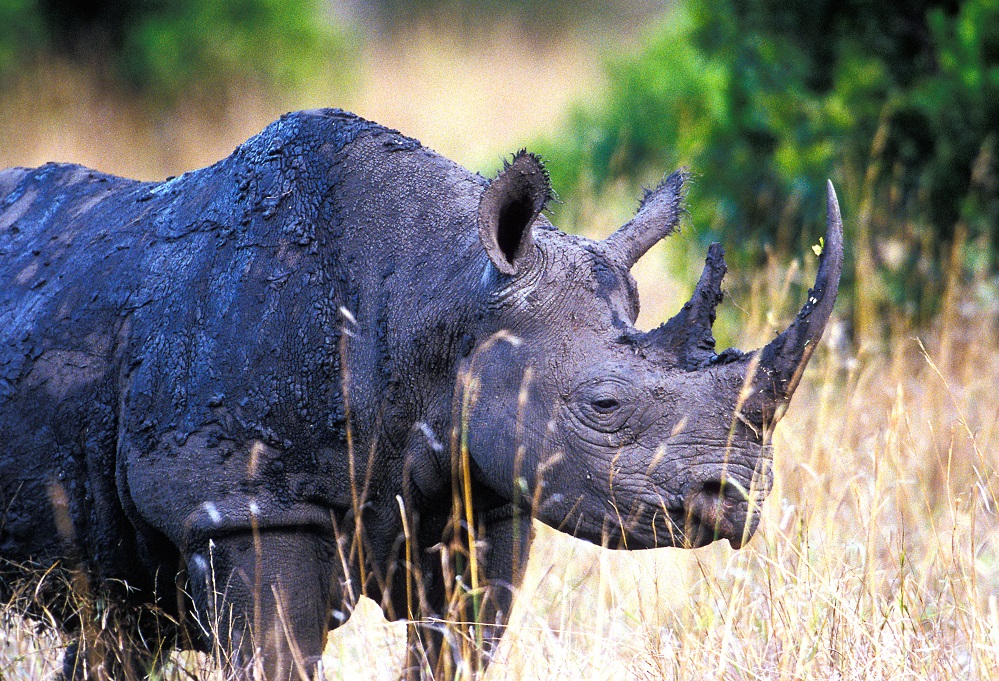 Muddy Black Rhino