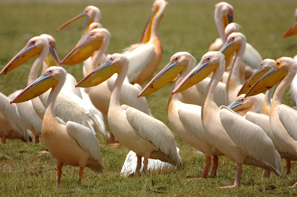 Nakuru Pelicans