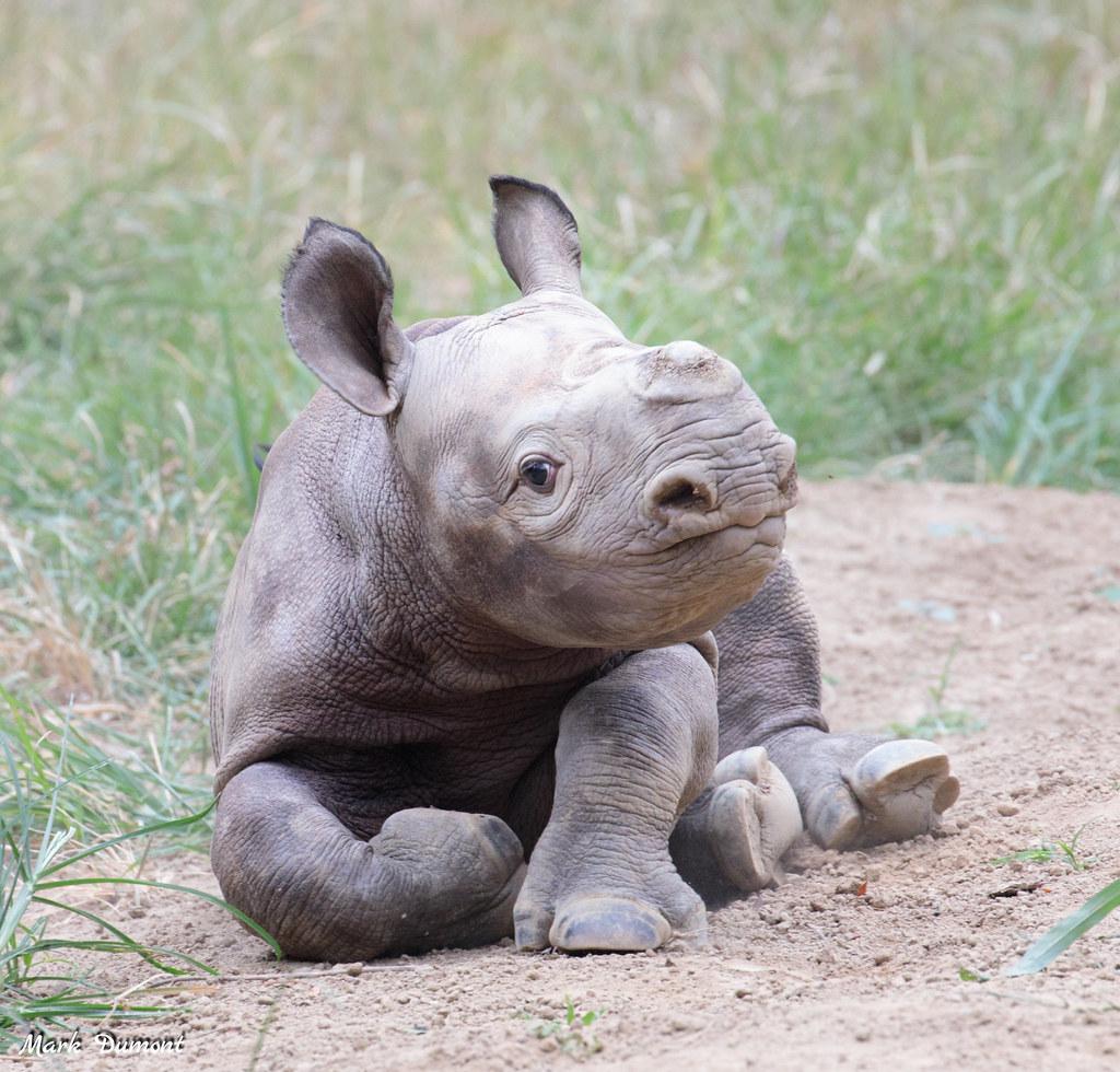 "Cincinnati Zoo's Baby Black Rhino Has a Name! Meet ""Ajani ..."