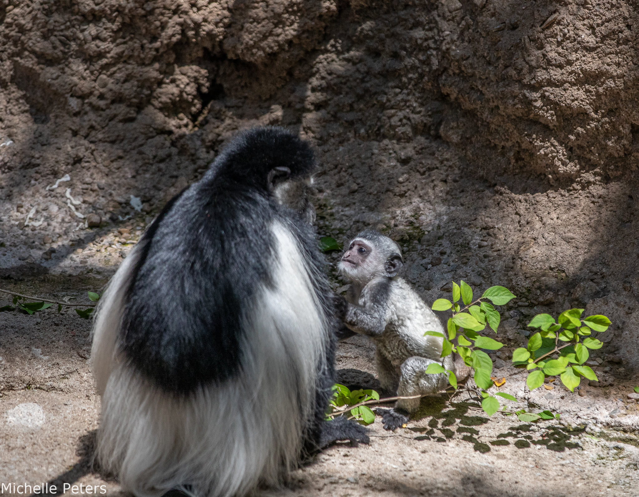 Colobus Monkey and mom