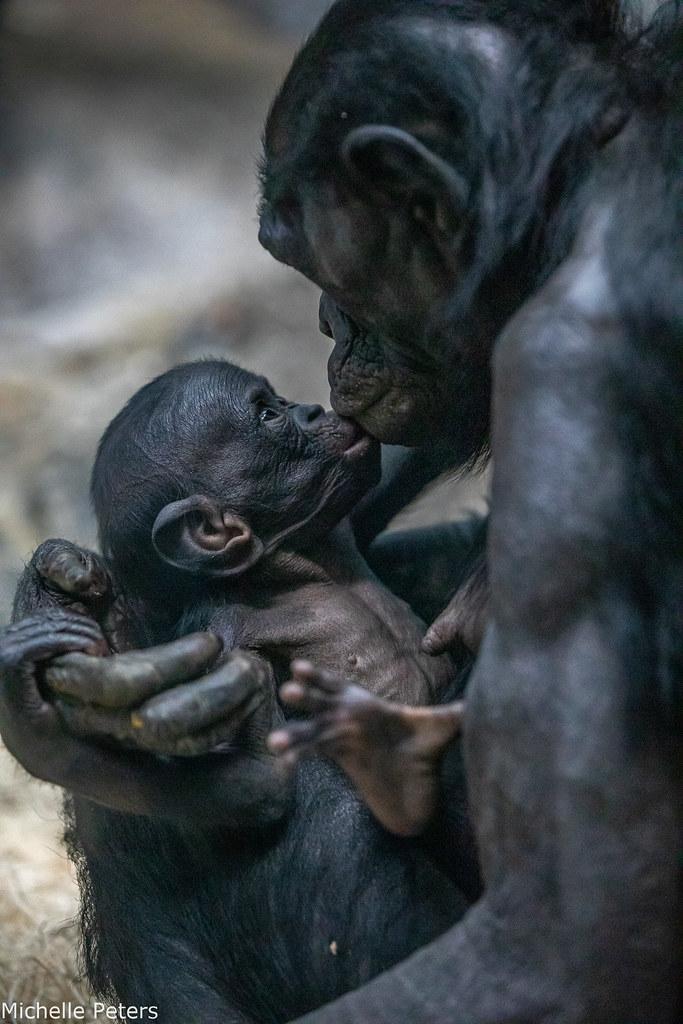 Bonobo Baby
