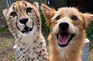 Cheetah and dog (Chris and Remus)