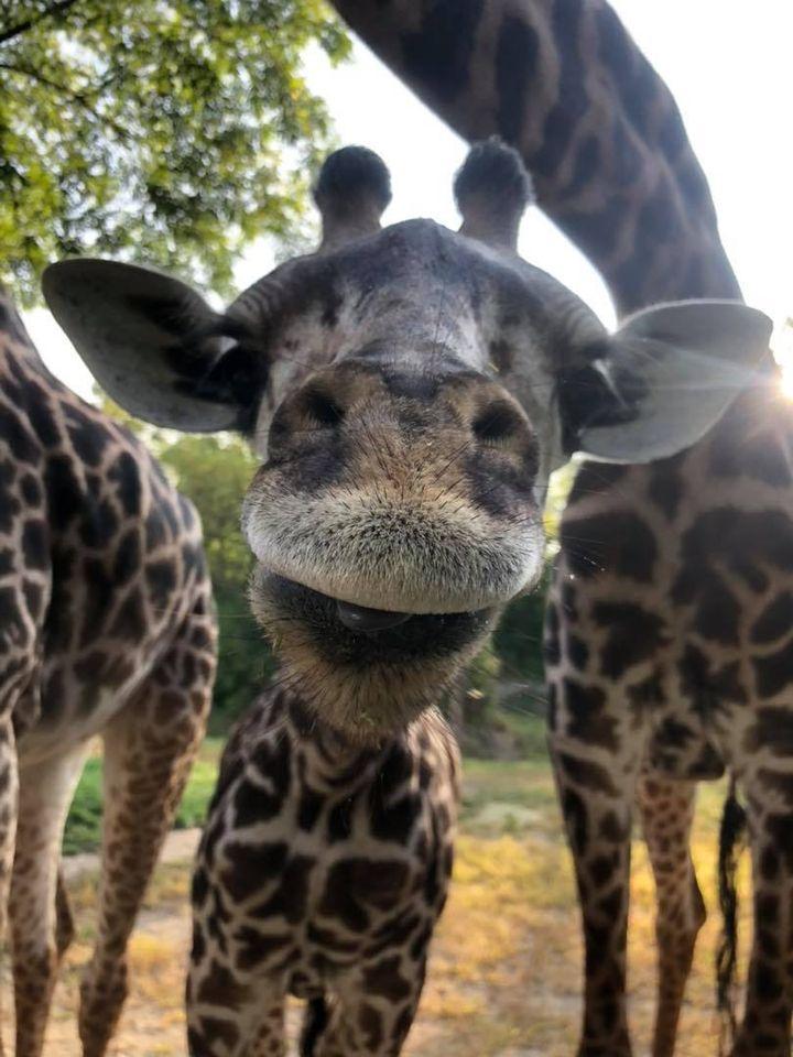 theo giraffe