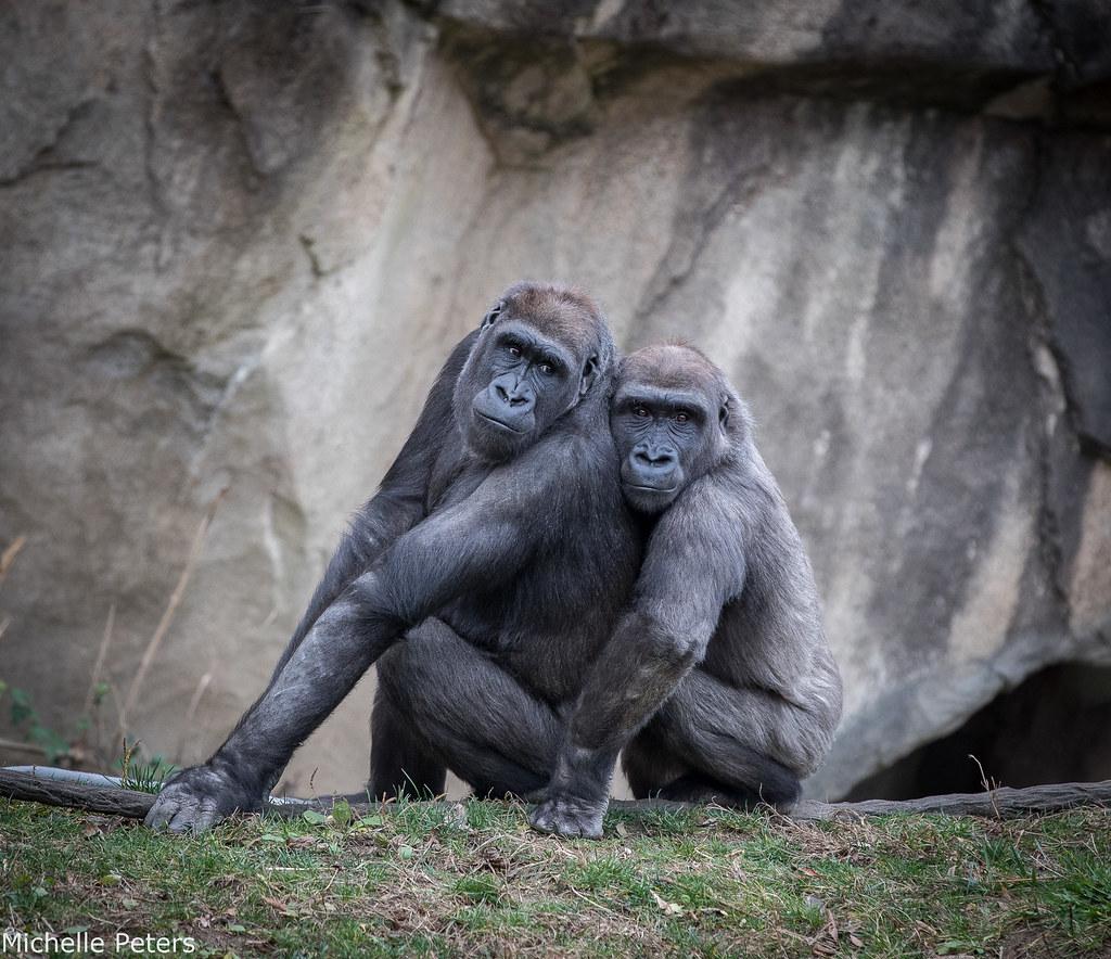 mona and elle gorillas sitting