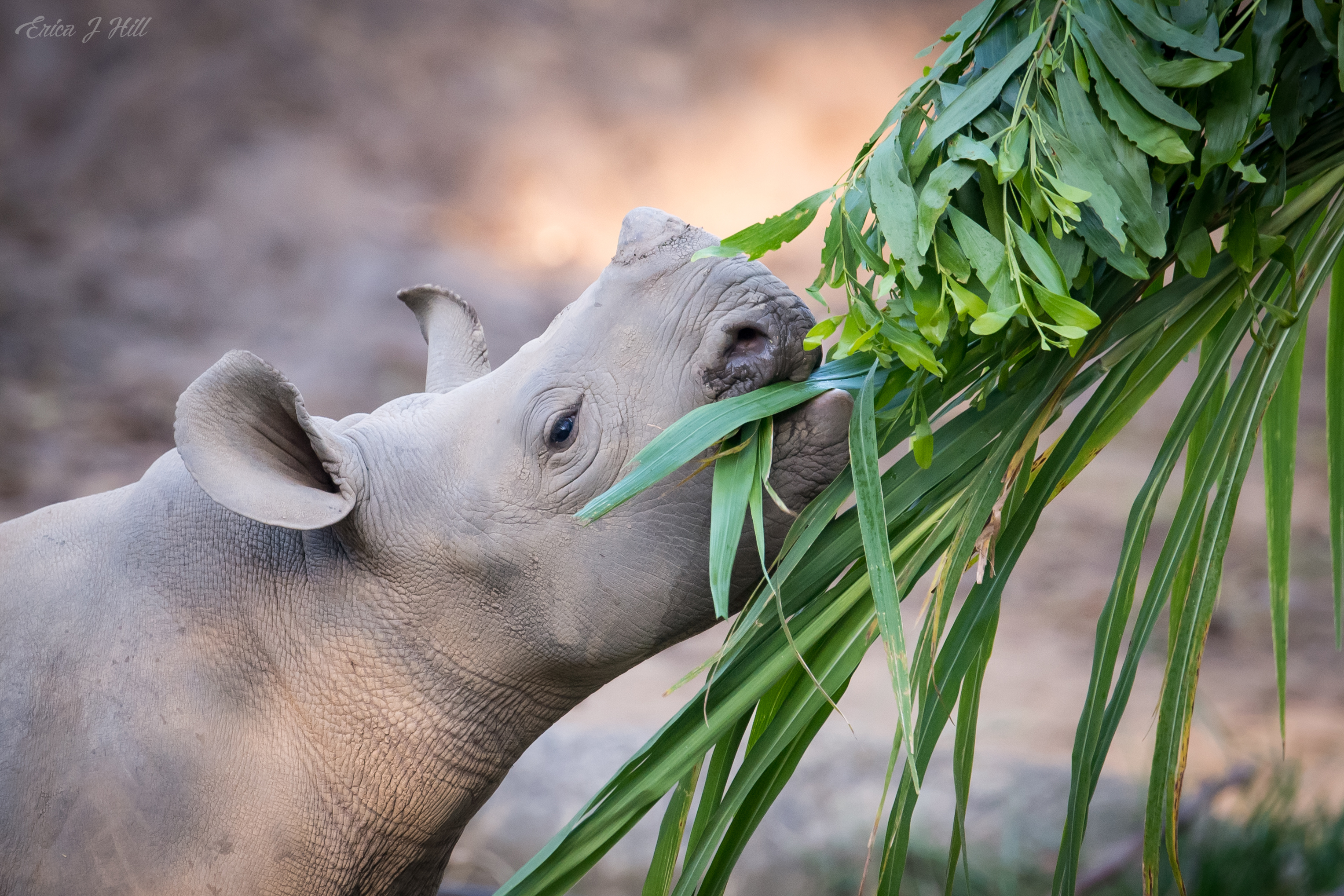 Black Rhino eating some food