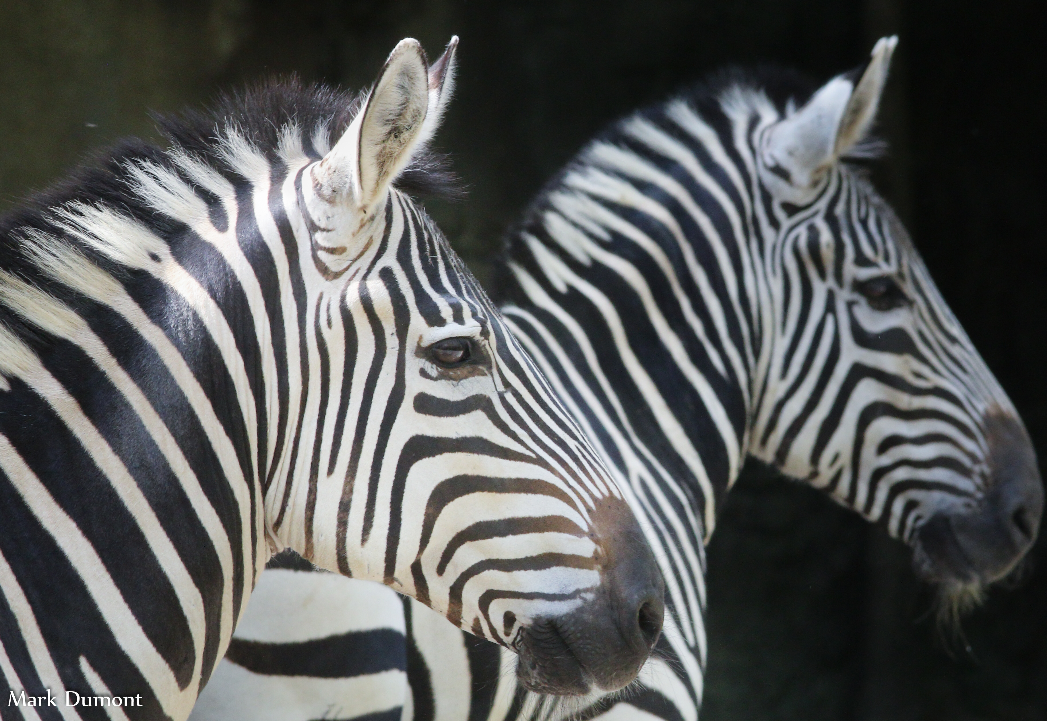 Two zebra side view