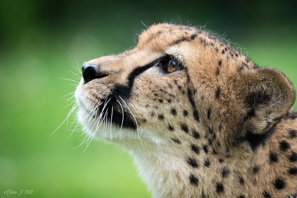 Cheetah looking up