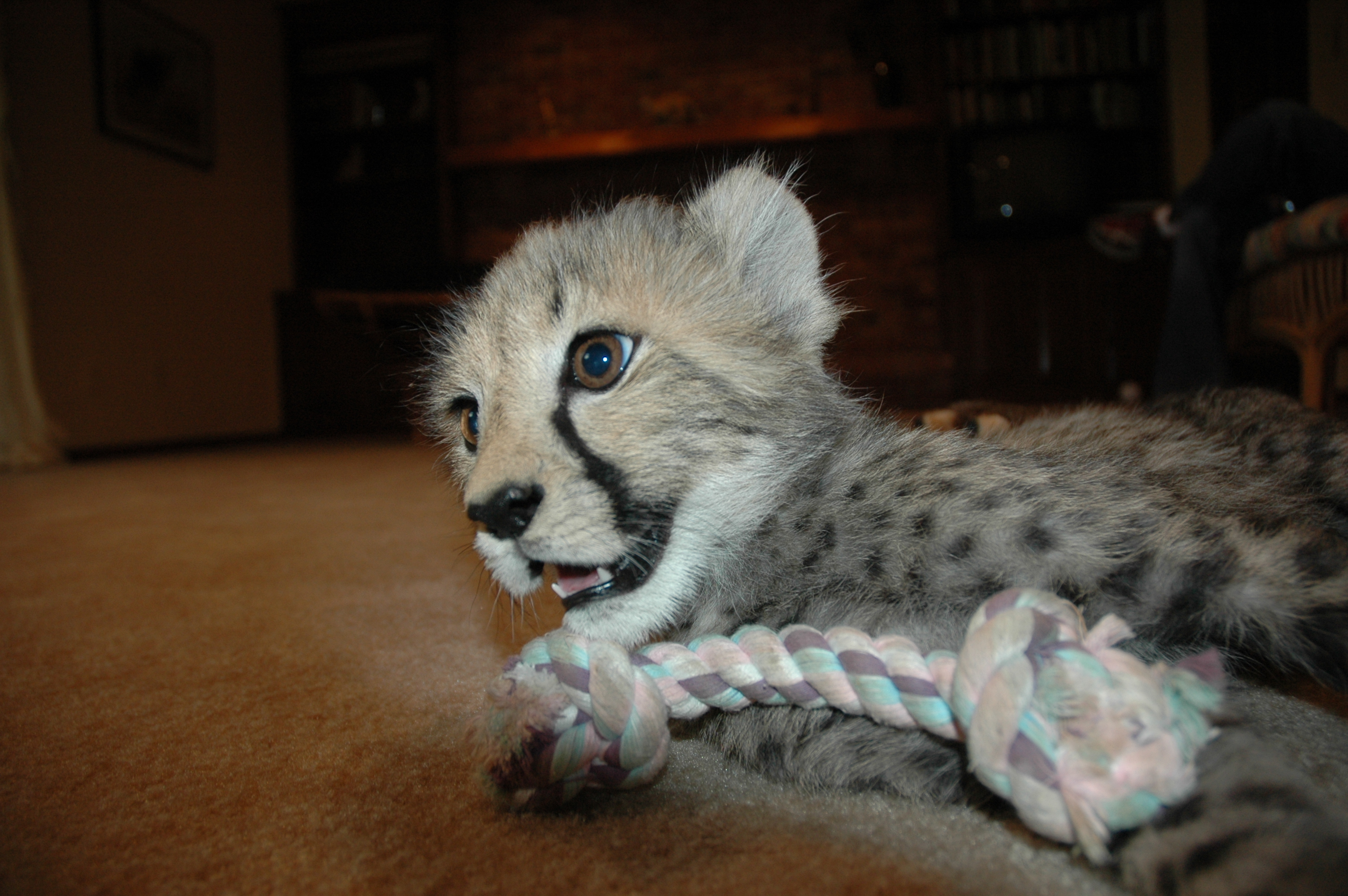 Puppy Dog Toys Cheetah Cub Toys Cincinnati Zoo Blog