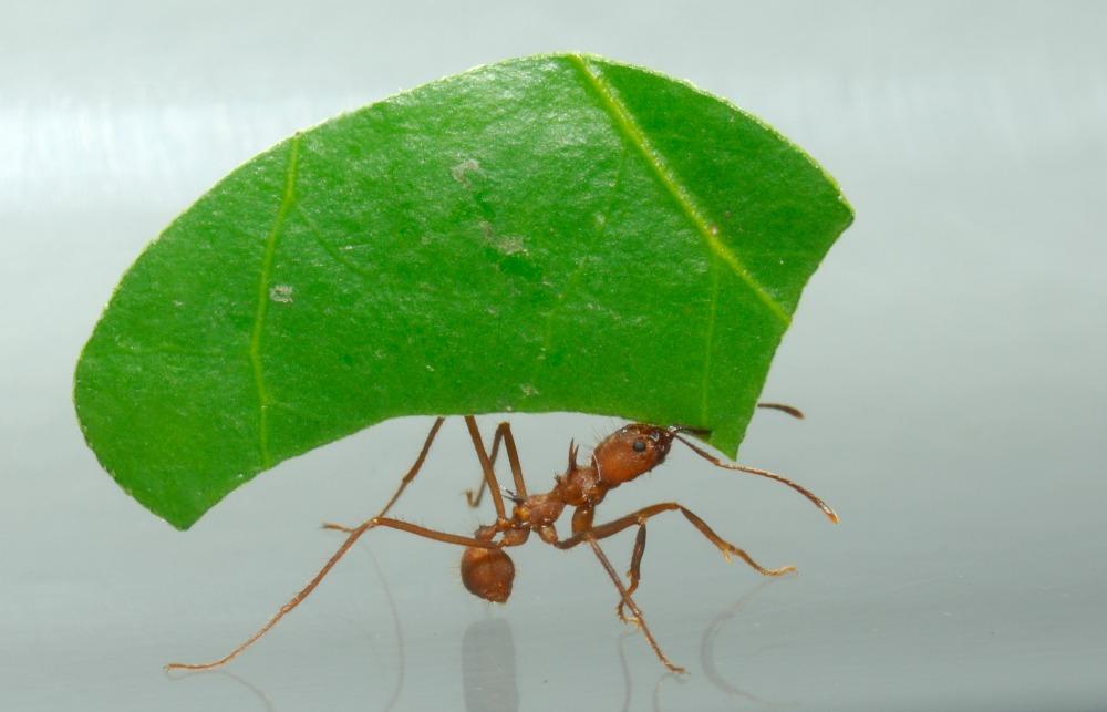 07 Leaf Cutter Ant A0050 A web