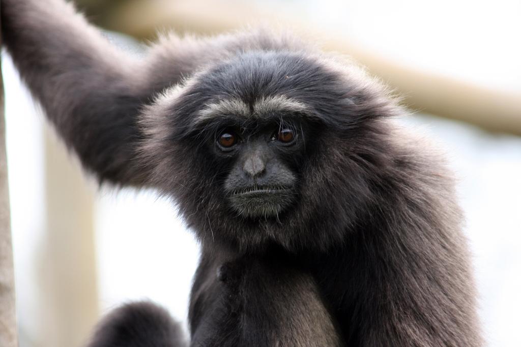 muellers gibbon