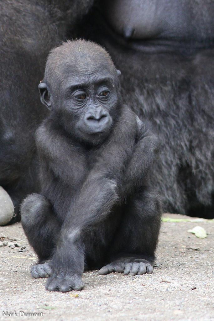 Western Lowland Gorilla Cincinnati Zoo Amp Botanical Garden 174