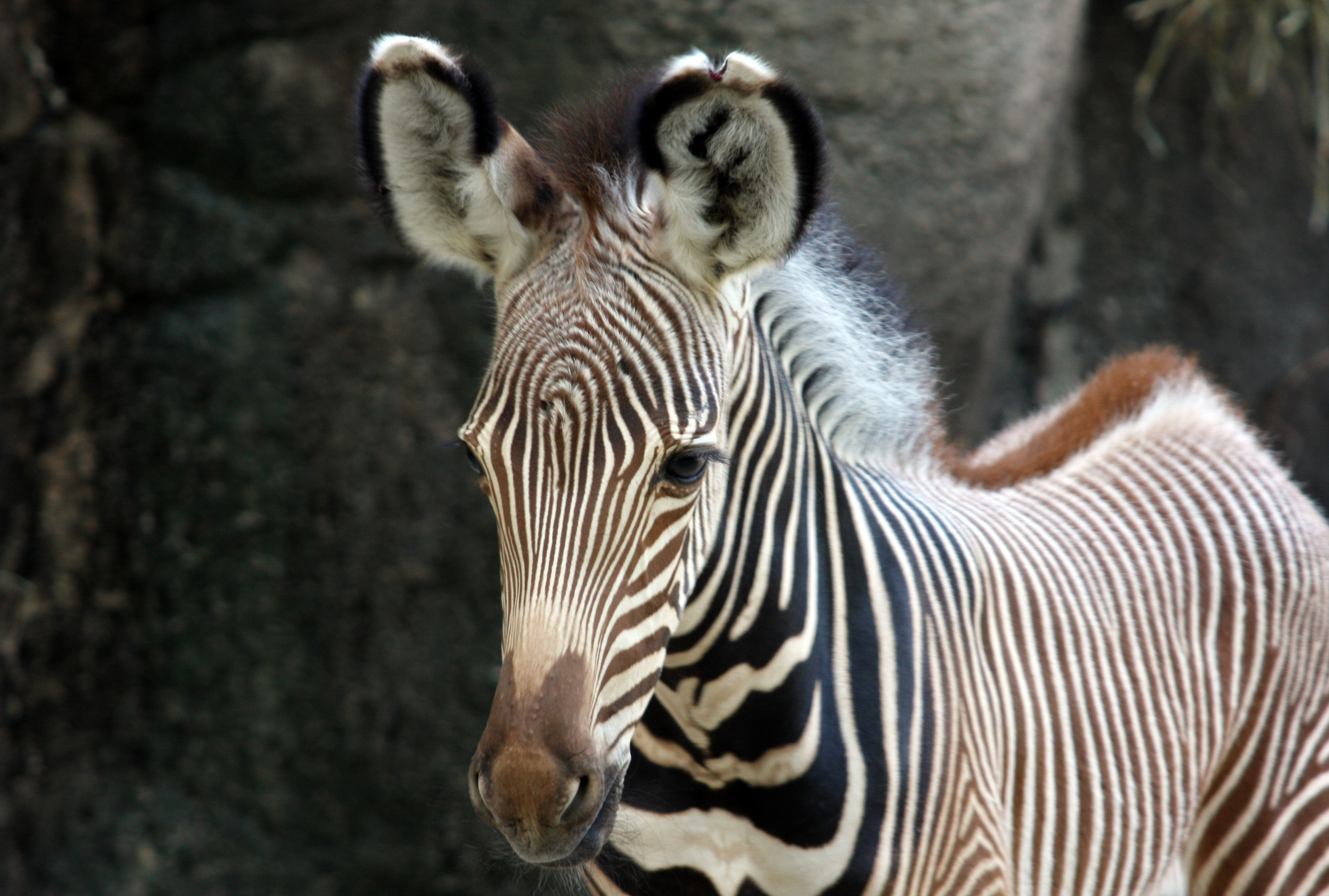 First Female Grevy S Zebra Born At The Cincinnati Zoo