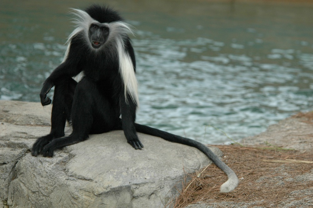 Angolan Colobus Monkey (31) web