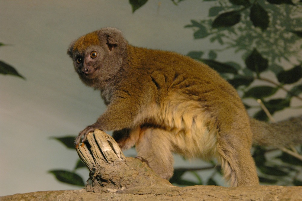 Bamboo Lemur (12)