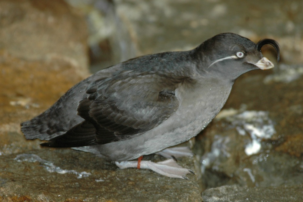 Crested Auklet - 01 web