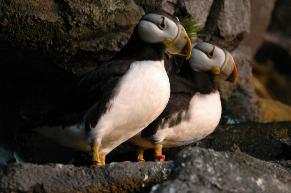 Horned Puffin - 31 web