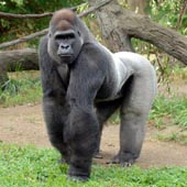 Knuckle-walking:  Gorillas walk on the knuckles of their hands and the soles of their feet.