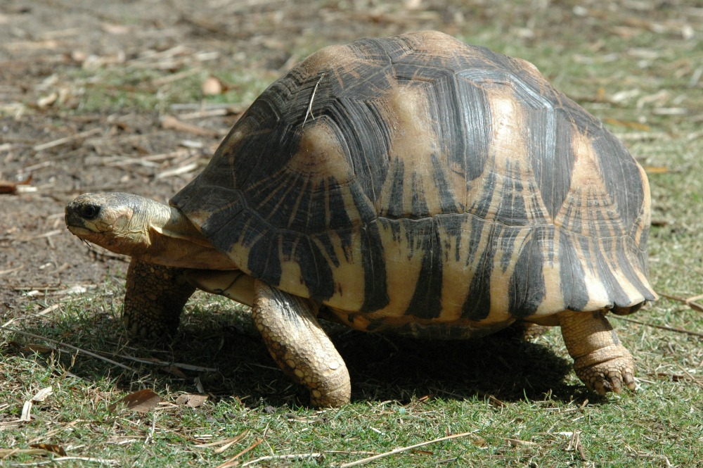 Radiated Tortoise (42) web