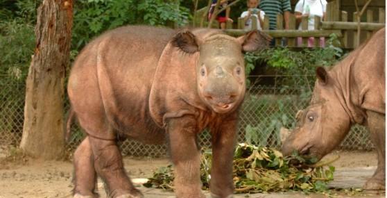 Sumatran Rhino M0039