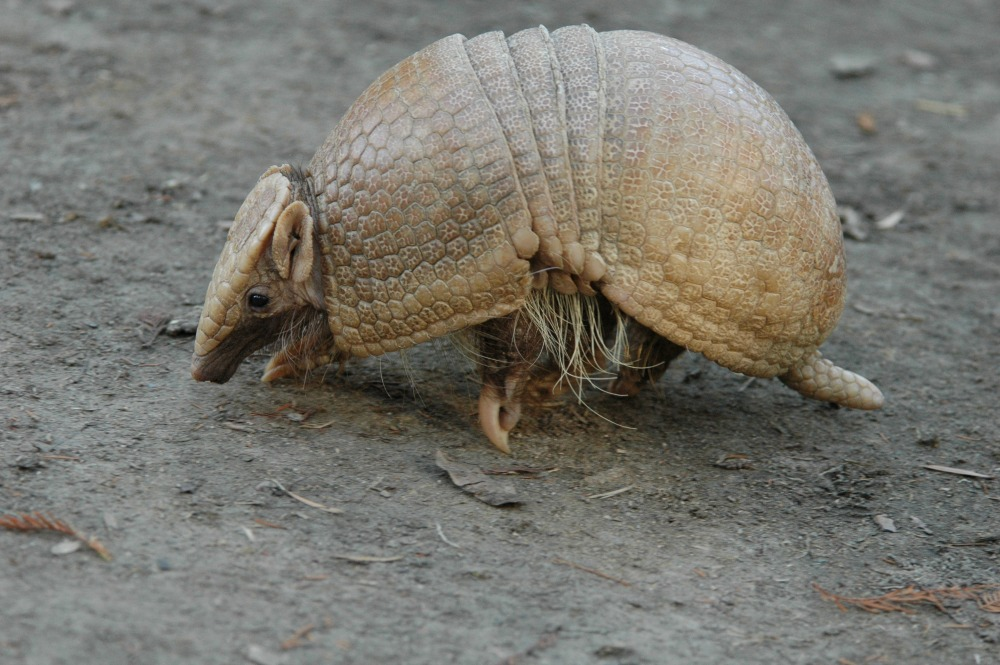 Three-banded Armadillo (30) web
