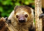 Two-toedSloth