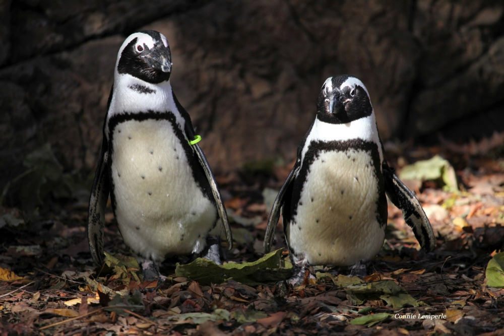 african penguins