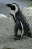 africanpenguin