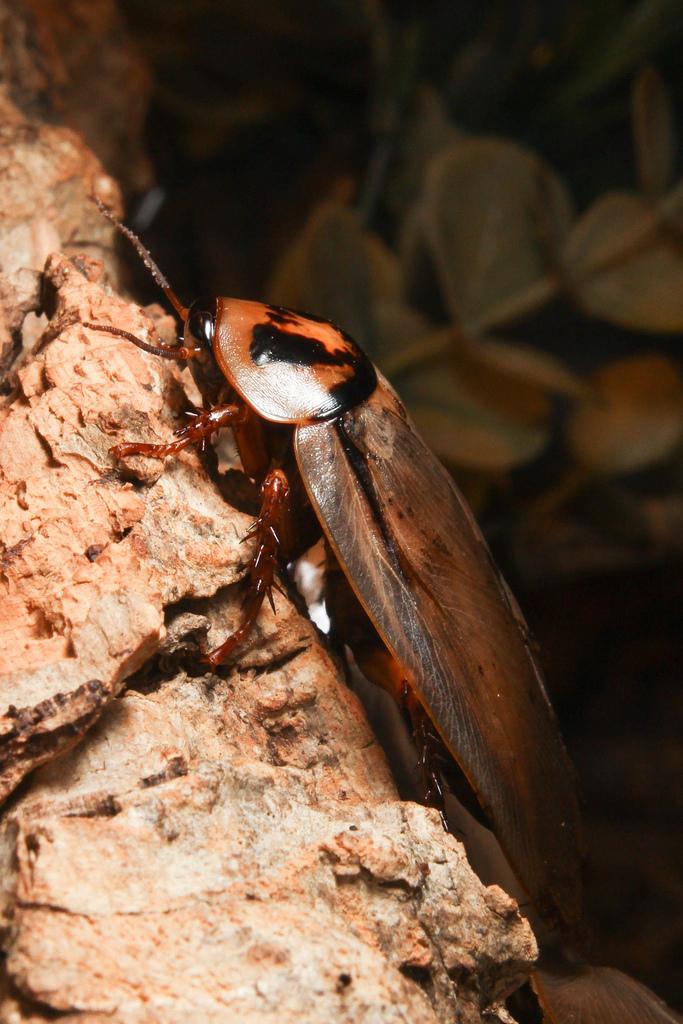 bat cave cockroach
