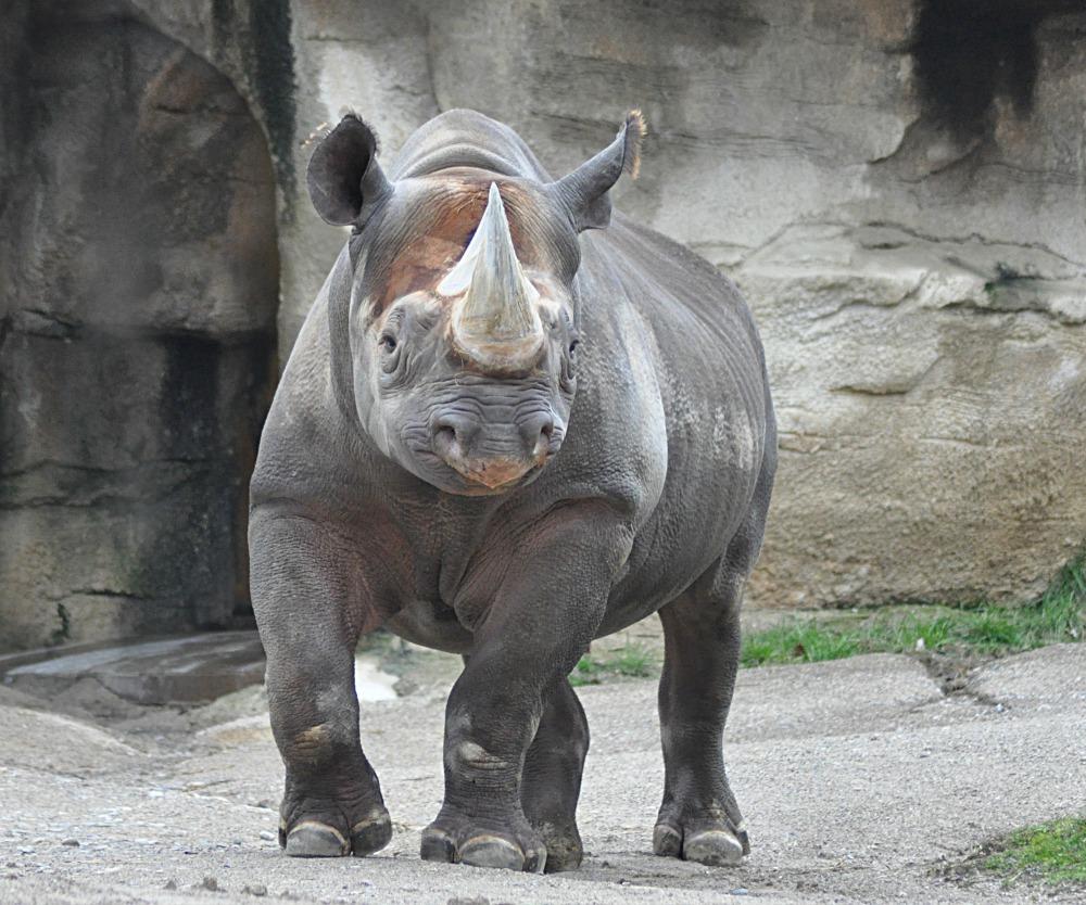 Black Rhino - Seyia