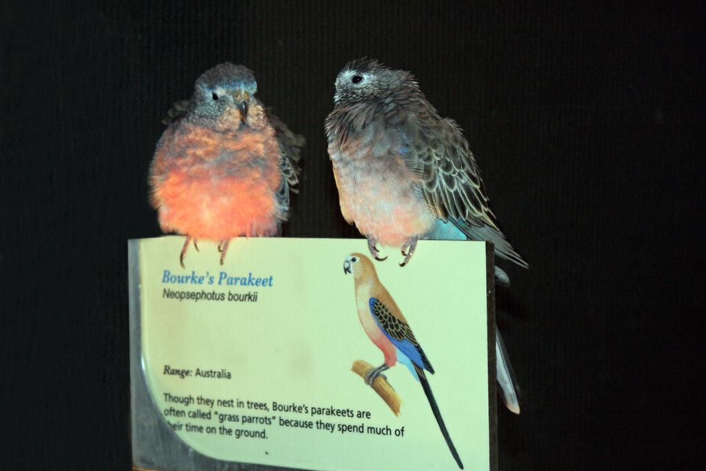 bourkes parakeet