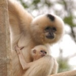 buff_cheeked_gibbon