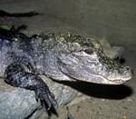 chinesealligator