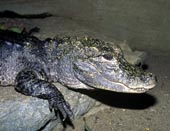 chinesealligator