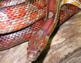cornsnake