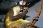 crowned_guenon