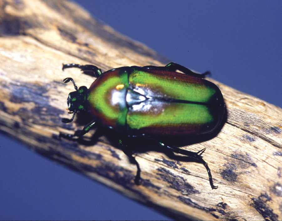 emerald-beetle-milan-bushing