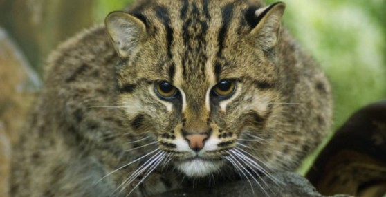fishing cat small