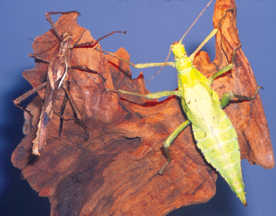 giant-spiny-leaf-insect-milan-bushing