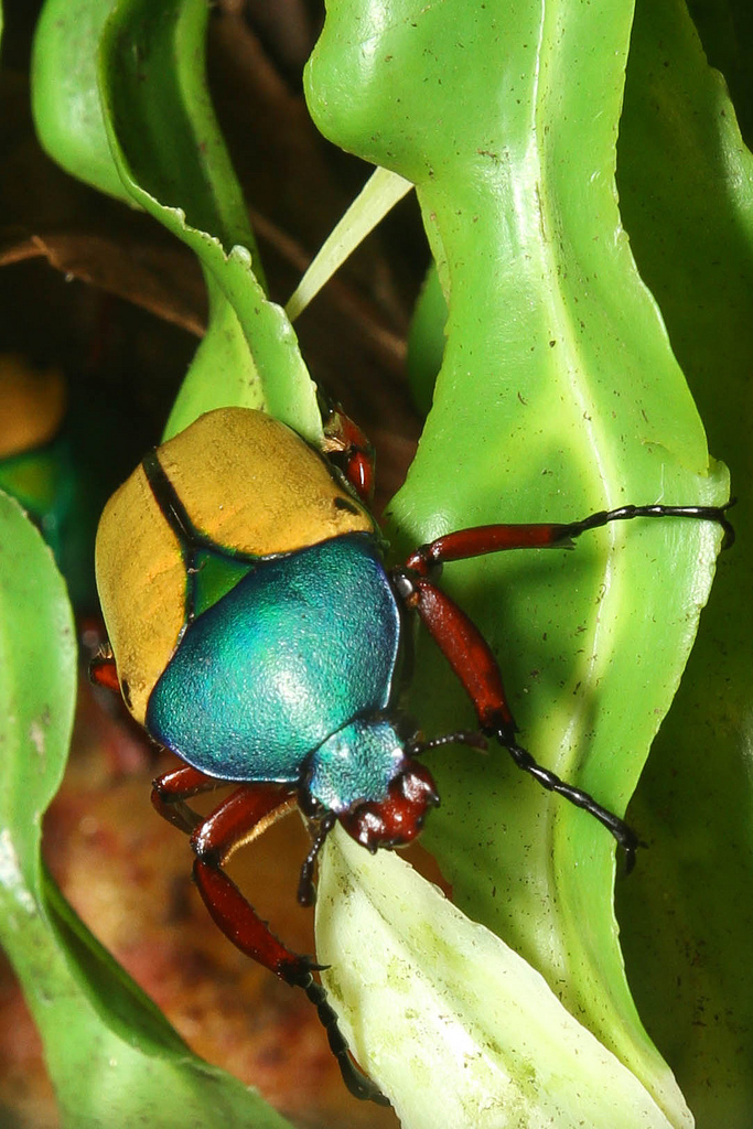 jade headed buffalo beetle2