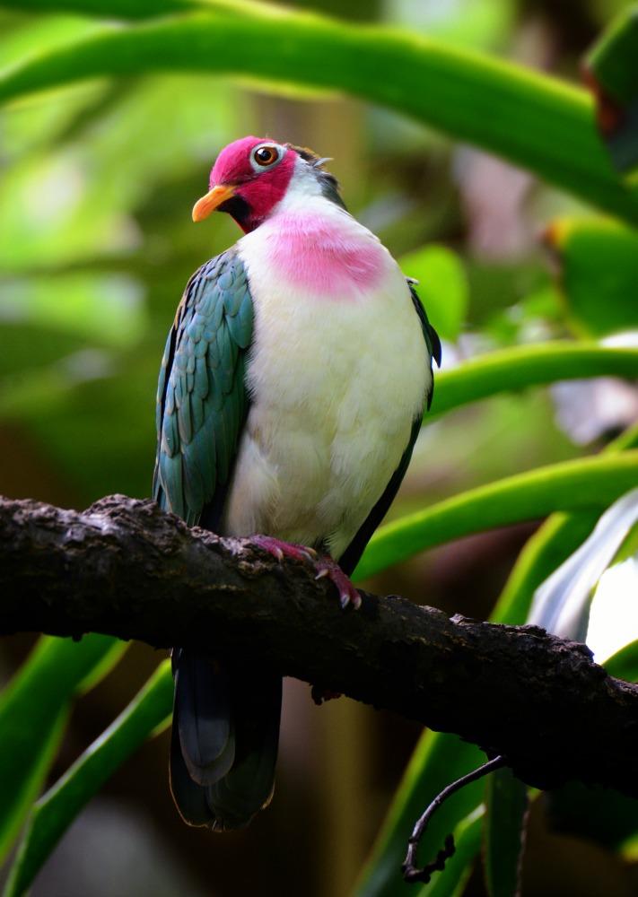 jambu fruit dove