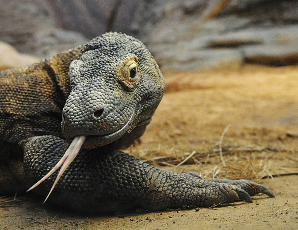 komodo dragons Find great deals on ebay for komodo dragon shop with confidence.