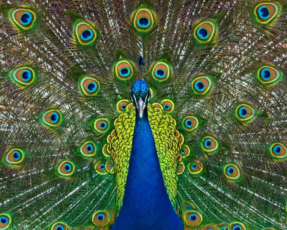 peacock web