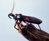 red eyed assassin bug