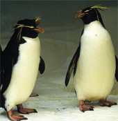 rockhopper_penguin