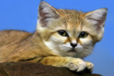sandcat