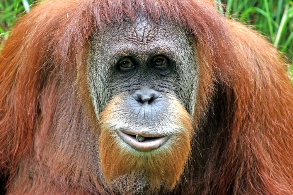 Posing Orangutan